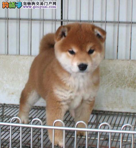 家养柴犬出售 顶级品质专业繁殖 绝对信誉保证