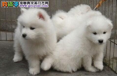 成都出售银狐犬公母都有品质一流请您放心选购