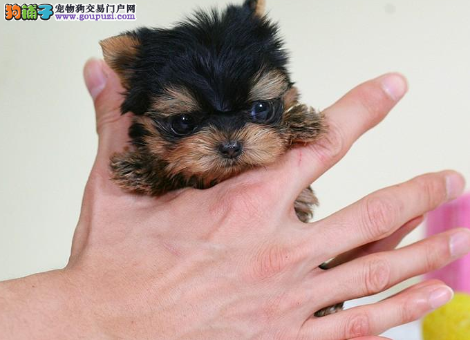 超有风度的犬种,约克夏幼崽,我相信你们一定会喜欢!