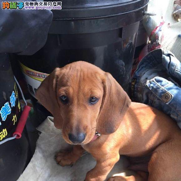 合肥精品高品质腊肠犬幼犬热卖中签订协议包细小犬瘟热
