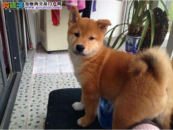 直销赛级柴犬,CKU认证品质,签订终身合同