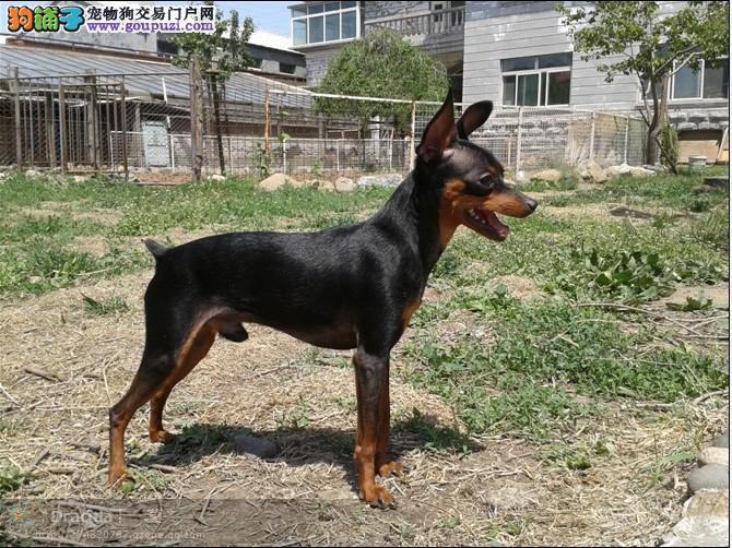 长沙那边有卖小鹿犬 纯血统 毛量足 质量有保