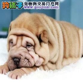 沙皮狗幼犬热销中、三针齐全保健康、诚信经营保障