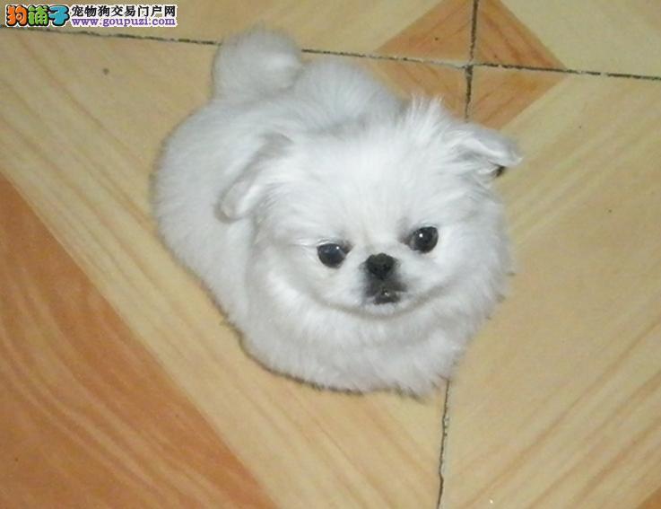 极品纯正的京巴幼犬热销中包售后包退换