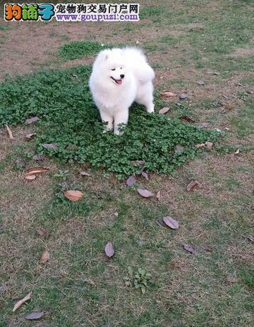萨摩耶幼犬/实物拍摄/纯种健康质保三年