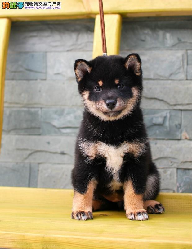 纯种日本小柴犬2到4个月柴犬健康品质保证