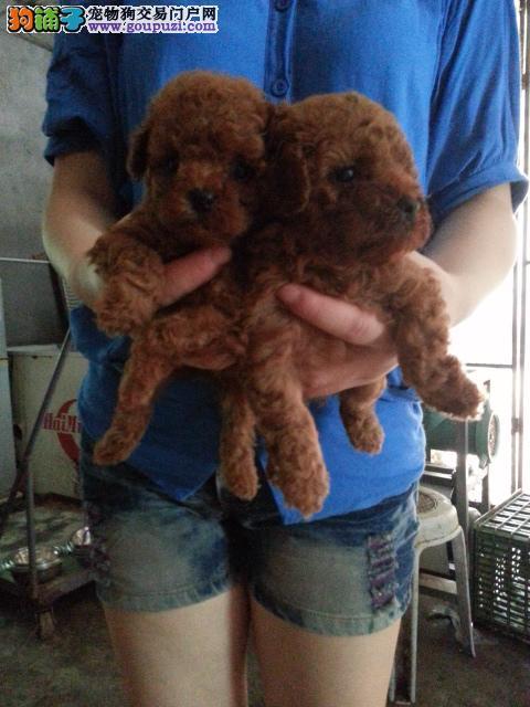 上海市嘉定区哪里有狗场出售贵宾犬图片价格 颜色齐全
