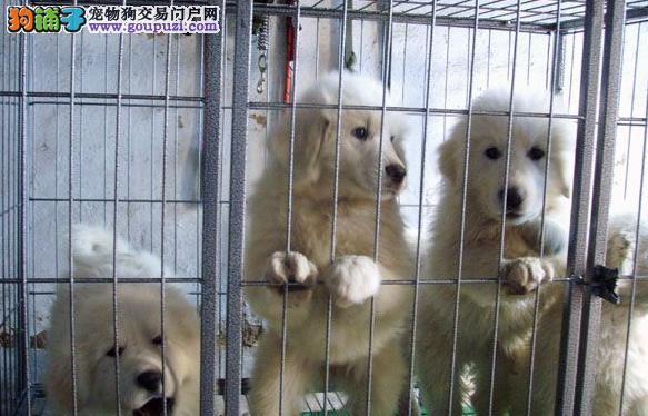 上海市嘉定区哪里有狗场出售大白熊犬图片价格 包健康