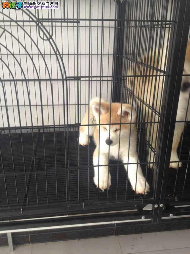 上海市嘉定区哪里有狗场出售秋田犬图片价格 包健康