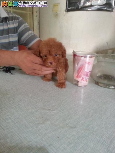 上海市嘉定区哪里有狗场出售茶杯犬图片价格 包健康