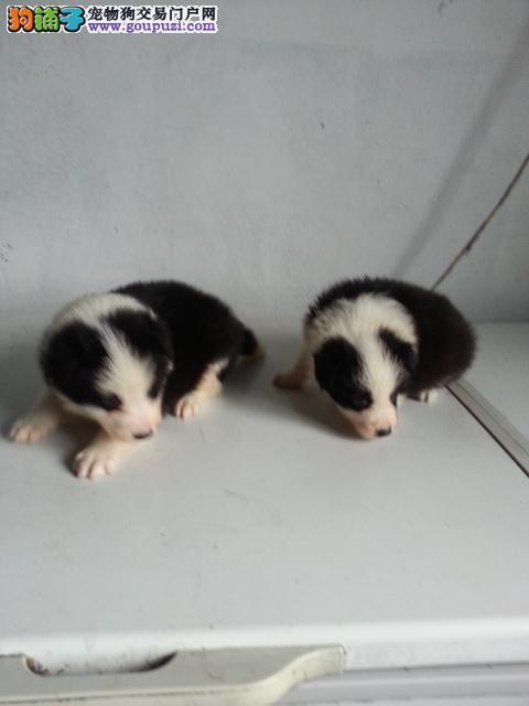 上海嘉定区哪里有狗场出售边境牧羊犬图片价格 包健康