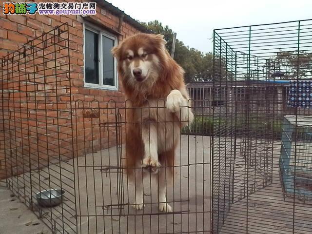 上海市嘉定区哪里有狗场出售阿拉斯加雪橇犬图片价格