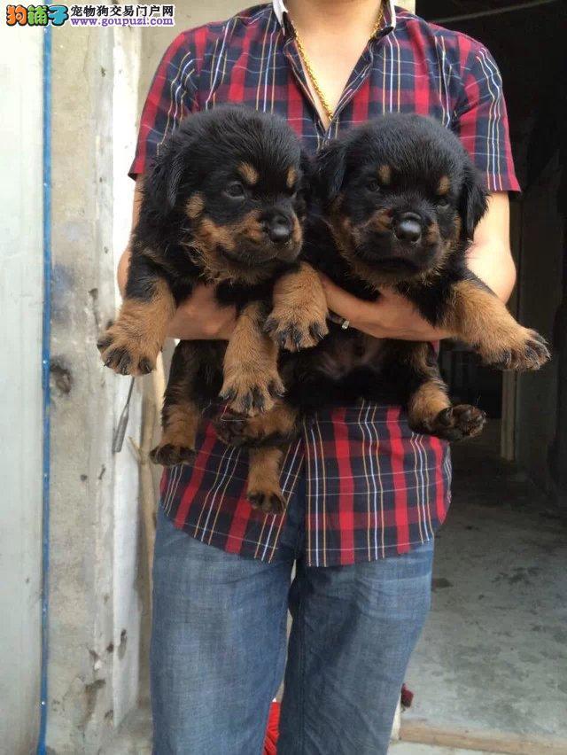 上海市嘉定区哪里有狗场出售罗威纳犬图片价格 包健康