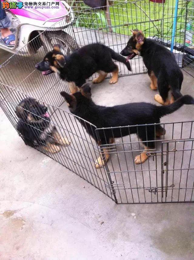 上海市嘉定区哪里有狗场出售狼狗图片价格 包健康
