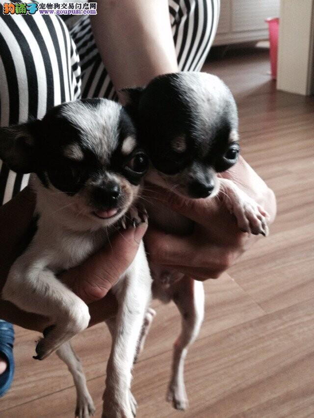 上海市嘉定区哪里有狗场出售吉娃娃图片价格 包健康