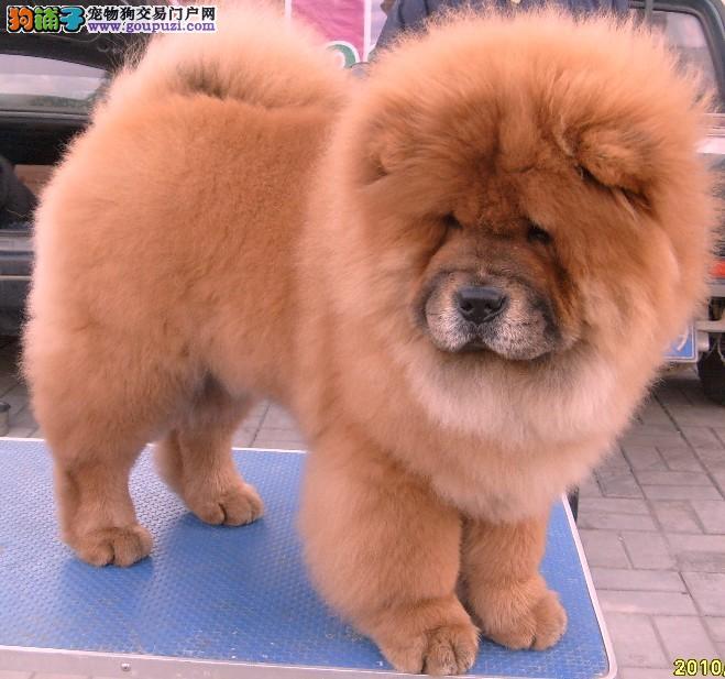 上海市嘉定区哪里有狗场出售松狮犬图片价格 包健康