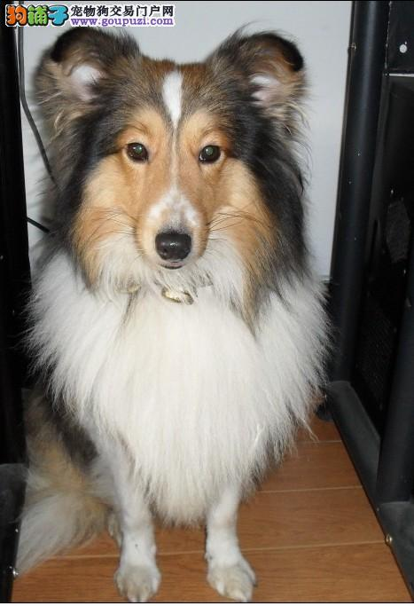家养苏格兰牧羊犬出售,专业繁殖包质量,签订正规合同