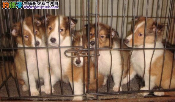 上海市嘉定区哪里有狗场出售苏格兰牧羊犬 包健康