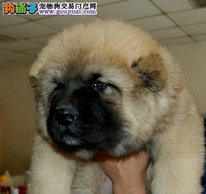 上海市嘉定区哪里有狗场出售高加索犬图片价格 包健康