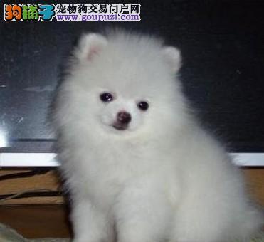上海市嘉定区哪里有狗场出售博美犬图片价格 包健康