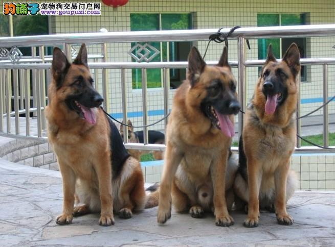 上海嘉定区哪里有狗场出售德国牧羊犬图片价格 包健康
