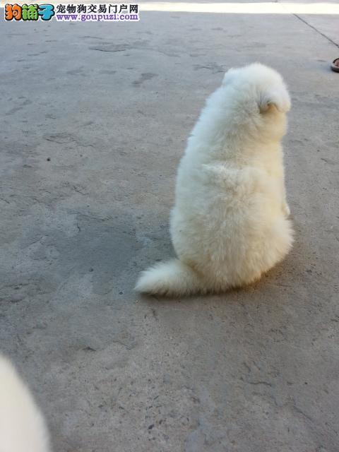 上海市嘉定区哪里有狗场出售萨摩耶图片价格 包健康