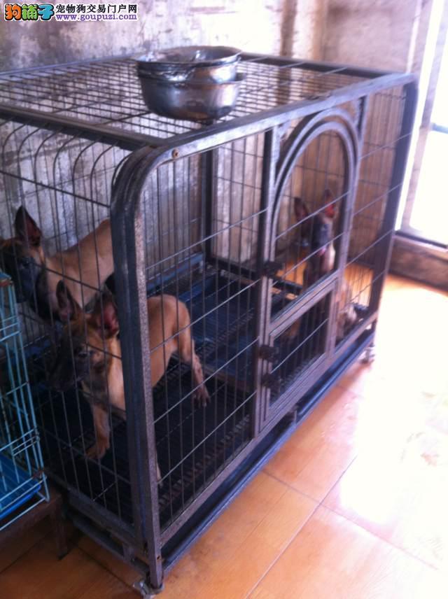 上海市嘉定区哪里有狗场出售马犬图片价格 包健康