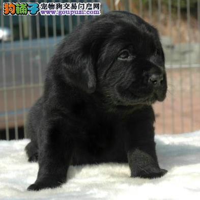 上海嘉定区哪里有狗场出售拉布拉多犬图片价格 包健康