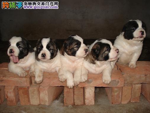 出售中亚牧羊犬颜色齐全公母都有签订终身协议