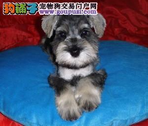 成都出售雪纳瑞犬 成都卖纯种雪纳瑞犬 成都雪纳瑞价格