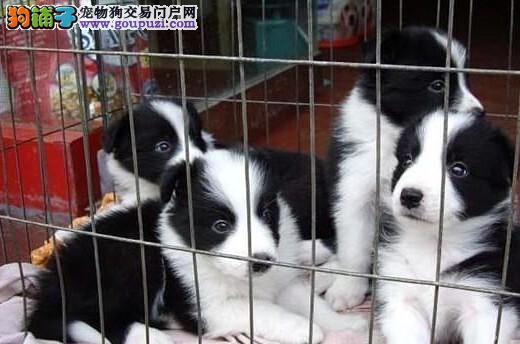 成都出售边镜牧羊犬 成都卖纯种边镜牧羊犬多少钱