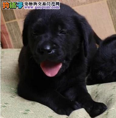 合肥出售拉布拉多犬 合肥卖纯种拉布拉多犬多少钱