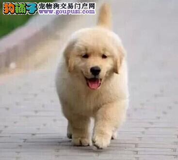 成都出售金毛犬 成都卖纯种金毛犬 成都金毛价格
