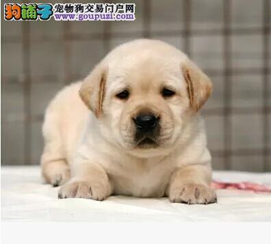 优秀健康拉布拉多犬上海犬舍出售 聪明能干品相好