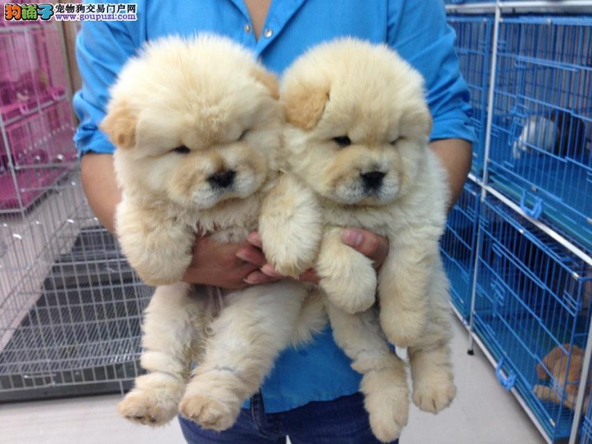 成都出售松狮犬 成都卖纯种松狮犬 成都松狮价格