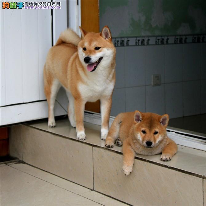 纯种日本柴犬按时防疫 驱虫 健康品质有保障
