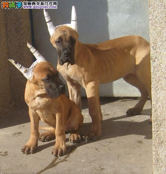 CKU犬舍认证出售纯种大丹犬喜欢加微信可签署协议