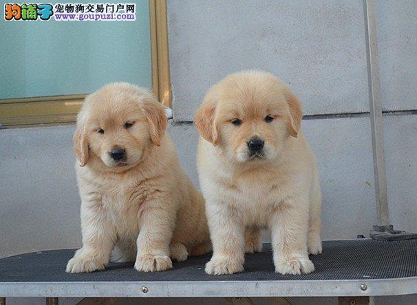 健康当时检查 纯种金毛犬出售 签订协议保三年