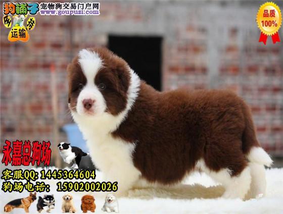 深圳正规狗场 最大狗场 永嘉狗场 出售边境牧羊幼犬
