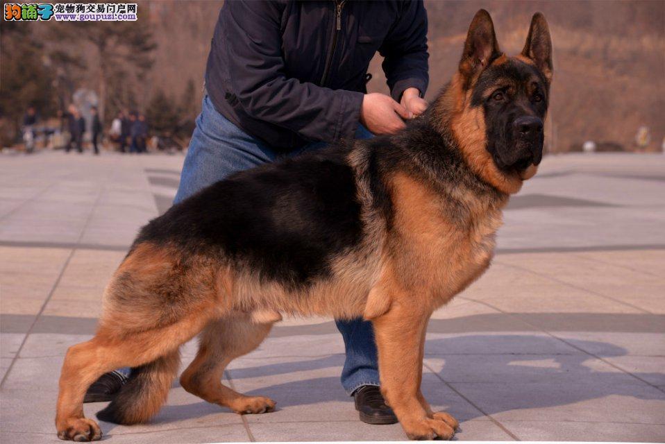 实物拍摄的吉林狼狗找新主人品相一流疫苗齐全