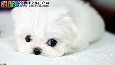 太原自家狗场繁殖直销茶杯犬幼犬质保三年支持送货上门