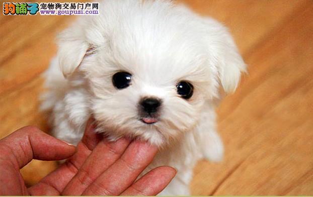 茶杯泰迪犬好养吗 茶杯泰迪犬能长到多大深圳买狗