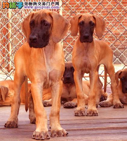 吐鲁番精品高品质大丹犬幼犬热卖中终身售后保障