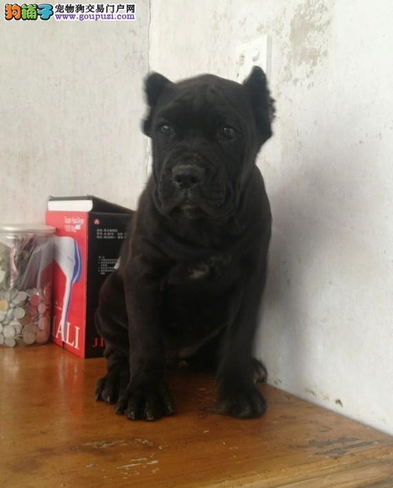 实体店热卖卡斯罗犬颜色齐全国际血统证书