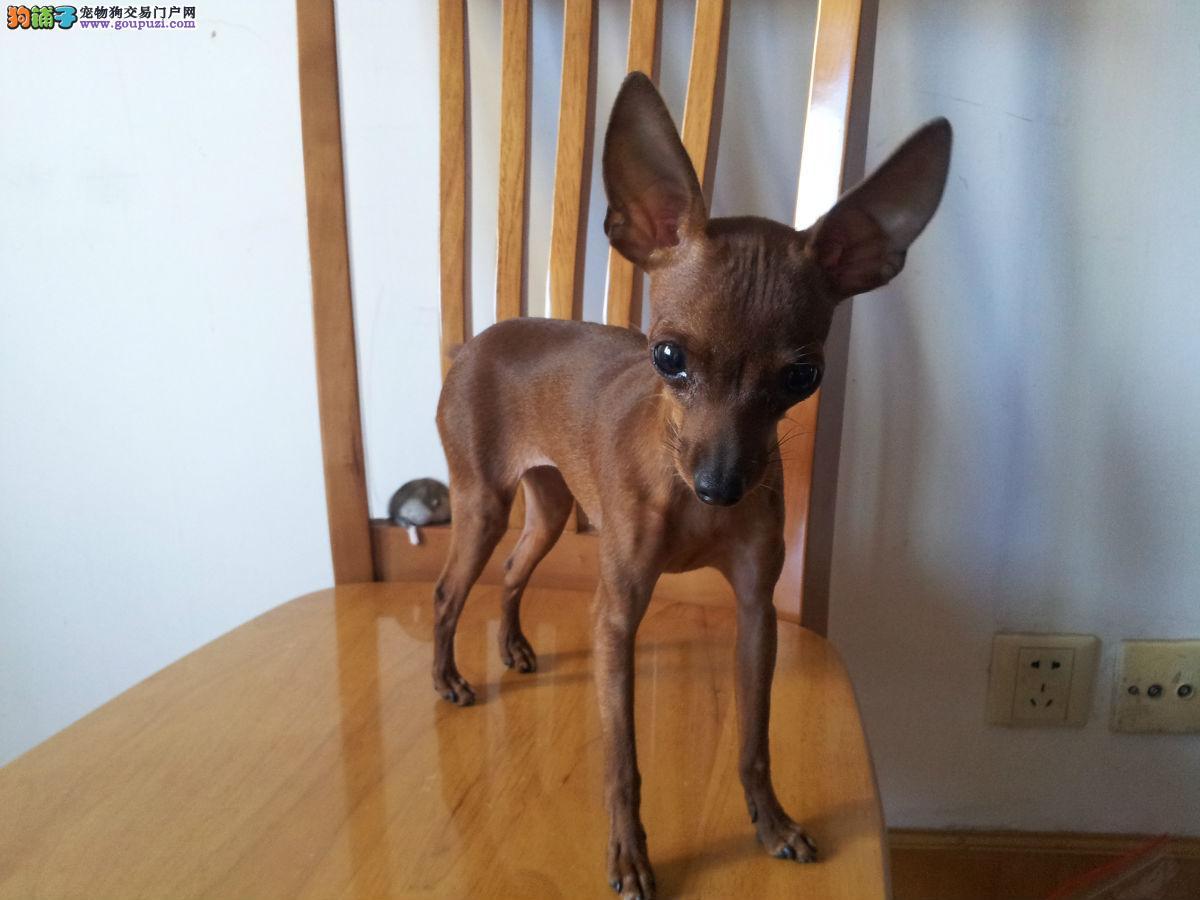 出售纯种小鹿幼犬 有证书  百分百包健康