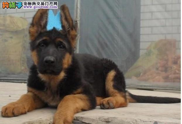 完美品相血统纯正北京德国牧羊犬出售可直接视频挑选