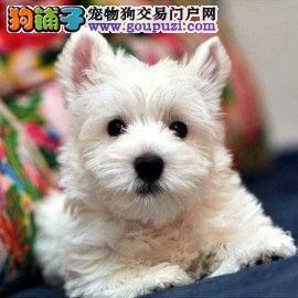 小型犬西高地白梗宝宝出售了,不纯种包退换