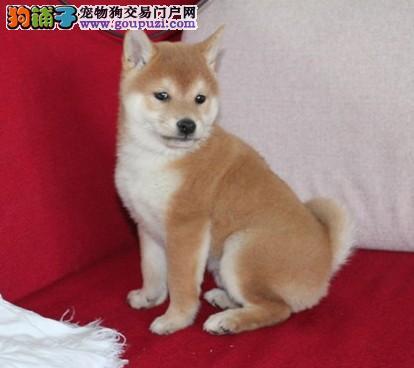 正宗日系柴犬 保证纯种极品品质西安地区可送货