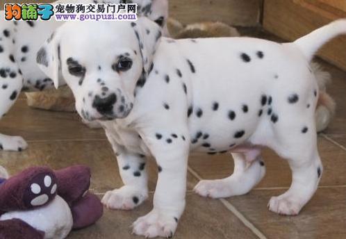 本狗场出售纯种斑点狗血统纯种