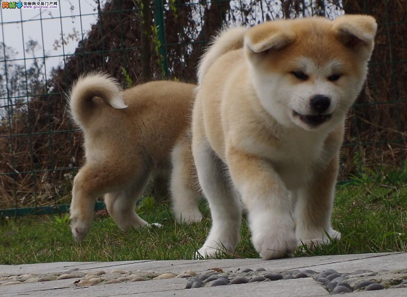 专业繁殖纯种唐山柴犬疫苗齐全全国十佳犬舍